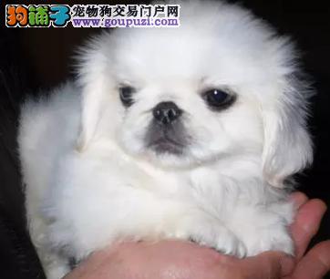 养殖基地 出售纯种 京巴幼犬 签订质保协议
