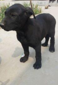 犬舍繁殖狼犬幼崽包纯种 带血统