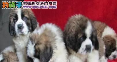 出售赛级纯种圣伯纳幼犬健康品质终身质保
