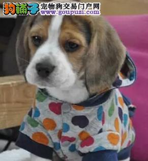 犬舍繁殖比格犬,聪明可爱的伴侣犬,血统纯