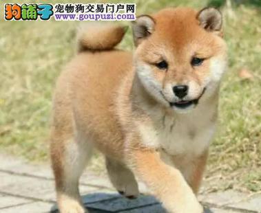 纯种日系柴犬包纯种保健康签协议包售后