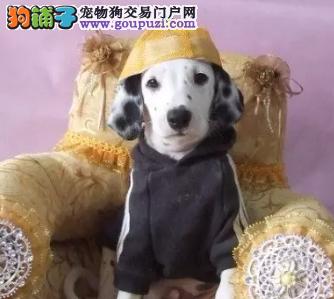 CKU犬业出售赛级大麦町犬 签订售后协议 健康质保