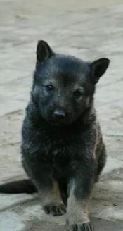 纯种昆明幼犬接受预定包纯种保健康