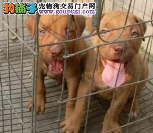 纯种比特斗犬出售、公母都有。包血统、包健康