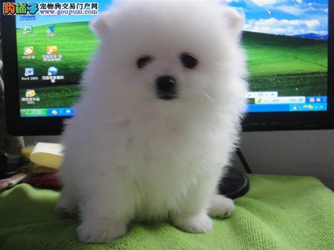 俊介犬哈多利球版 博美 白富美的最佳选 包你养活