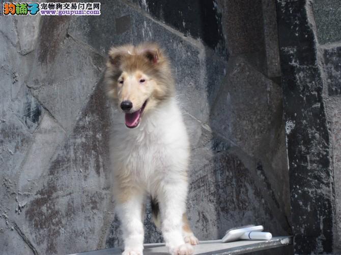 苏格兰牧羊犬是一种坚强、结实、积极、活泼的品种