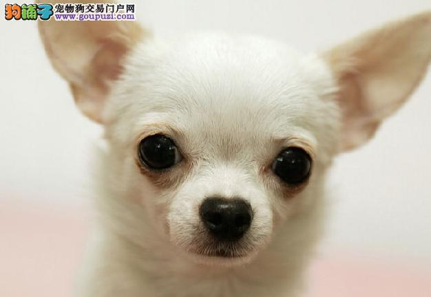 苹果头大眼睛茶杯体吉娃娃幼犬 颜色齐全 保纯种健康