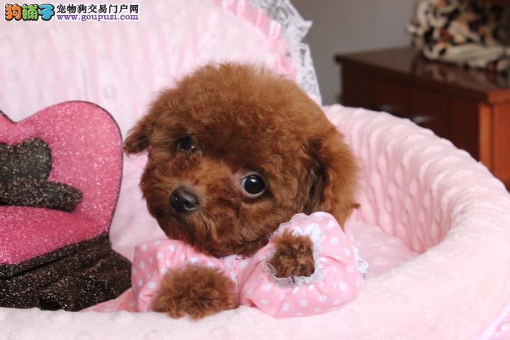萌萌的,纯韩系血统泰迪熊,小方体,超级大眼睛的宝宝