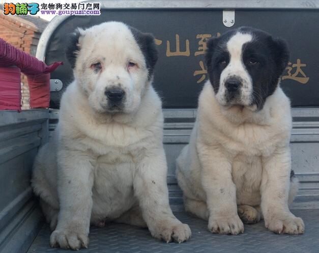 中亚牧羊犬 高品质 签订协议