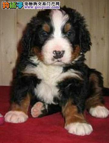 出售纯种家养伯恩山幼犬 公母都有 保证健康质