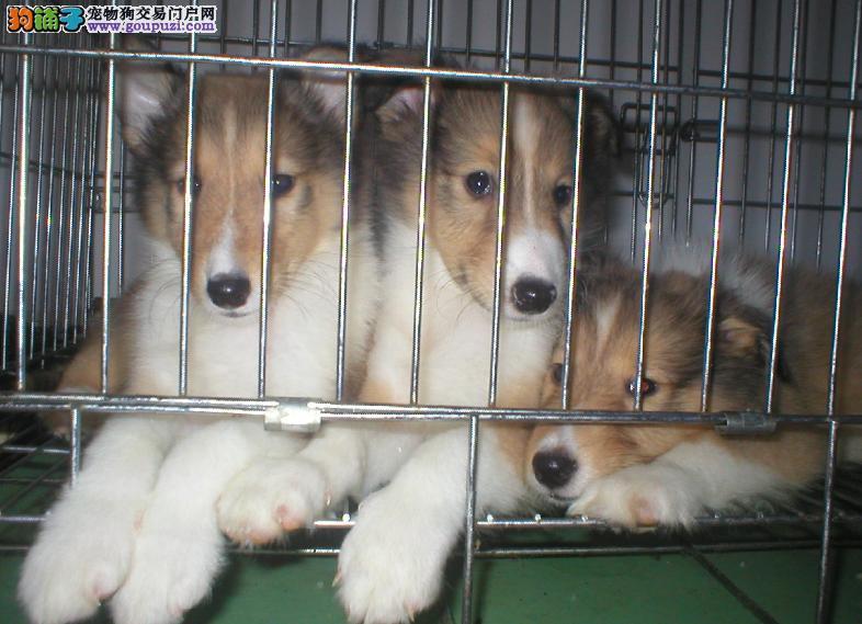 冠军级血系苏牧宝宝低价出售 购买可正规购犬签订协议