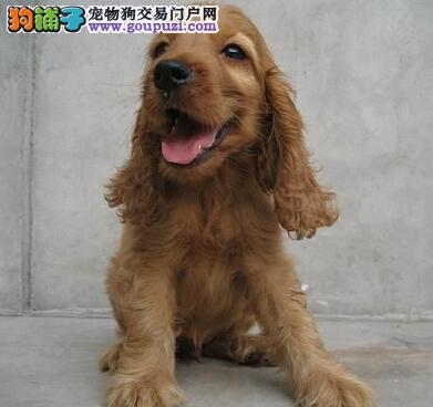 纯种可卡犬幼犬 疫苗驱虫已做健康多只可选包健康纯种