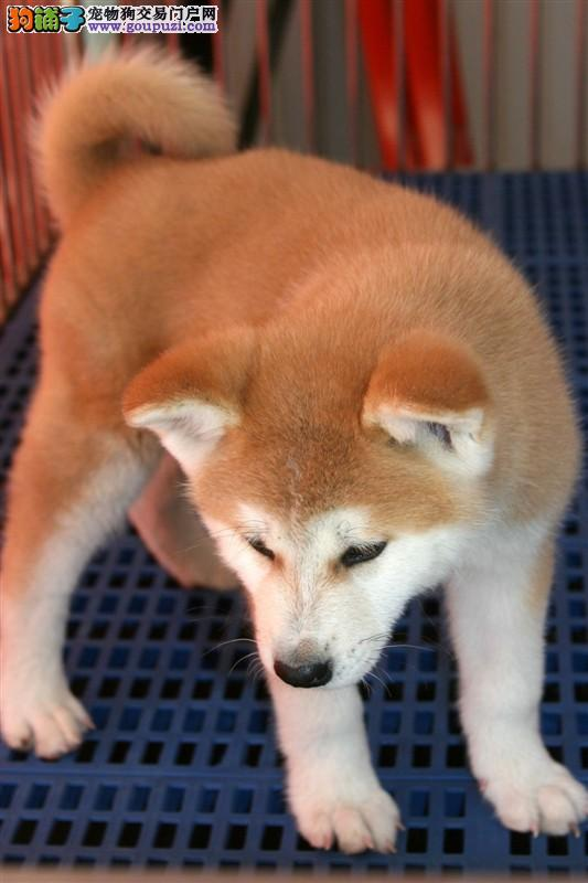 让你难以想象的极品秋田幼犬出售 包纯种健康可签协议