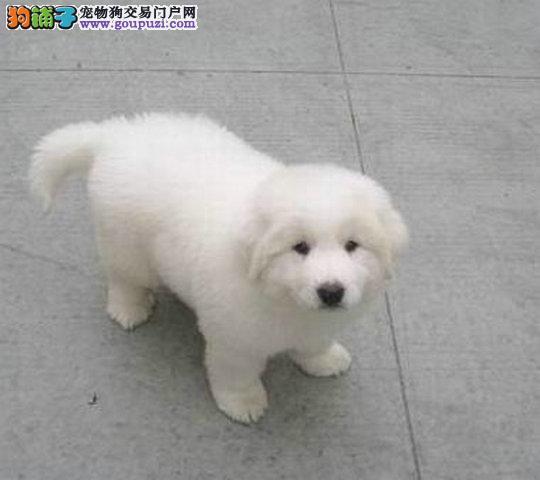 够漂亮,可爱,活泼大白熊 多只挑选,包养活
