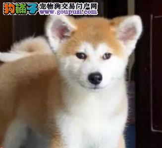 秋田犬 贪便宜的话必买到病狗。想买好狗请点进来看