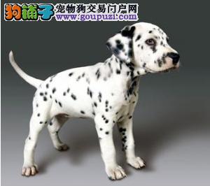 精品斑点狗热卖中包纯种保健康的 包活签协议