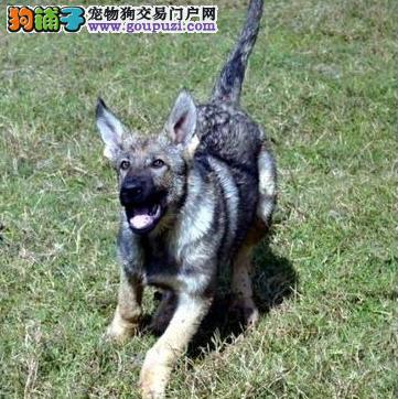 犬舍繁殖基直销昆明犬包纯种保健康包活签协议