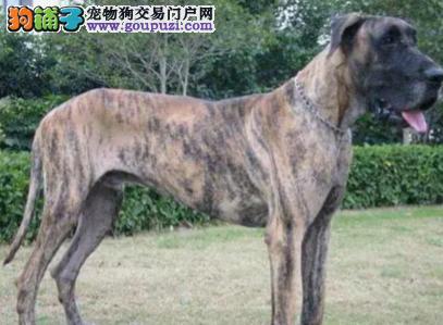 出售高品质纯种大丹幼犬 优选犬舍品质保证