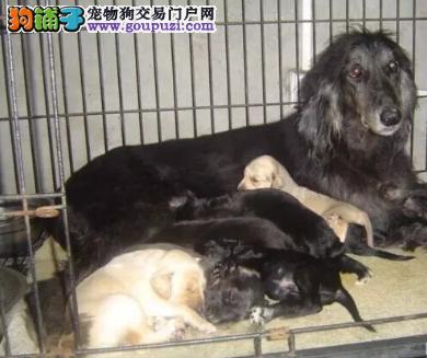 正规犬舍出售高品质赛级阿富汗猎犬幼犬出售