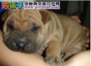 专业繁殖沙皮幼犬血统纯品相好保健康欢迎来家看狗