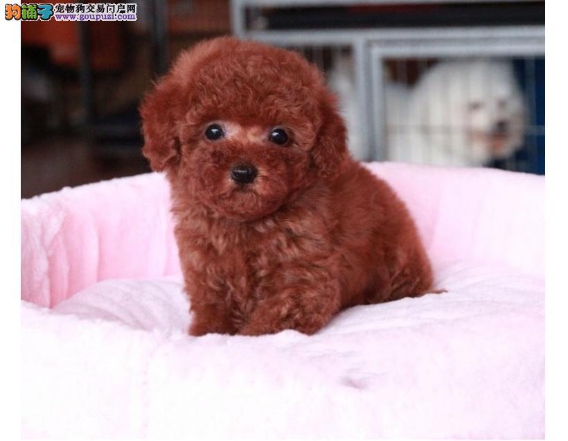 出售纯种红色、香槟、黑色茶杯犬