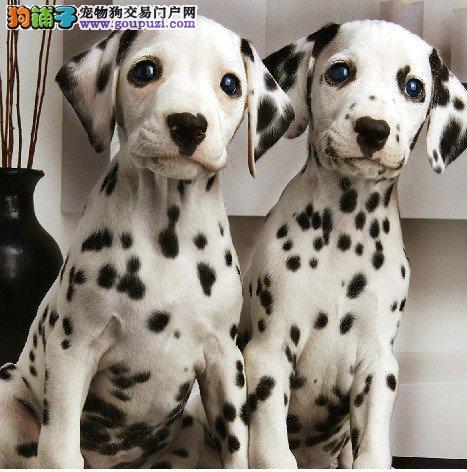 纯种斑点狗出售,品相好,健康质量保证