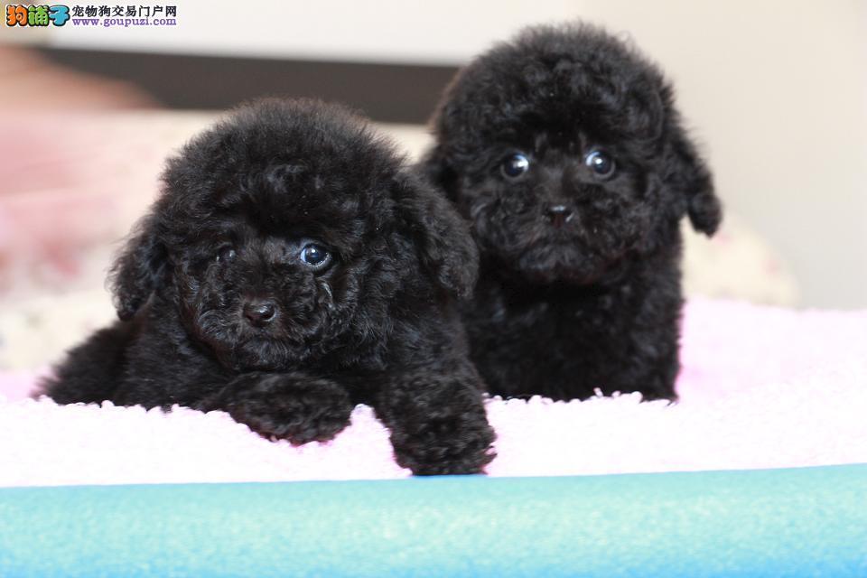 出售纯种红色、香槟、黑色玩具泰迪熊幼犬