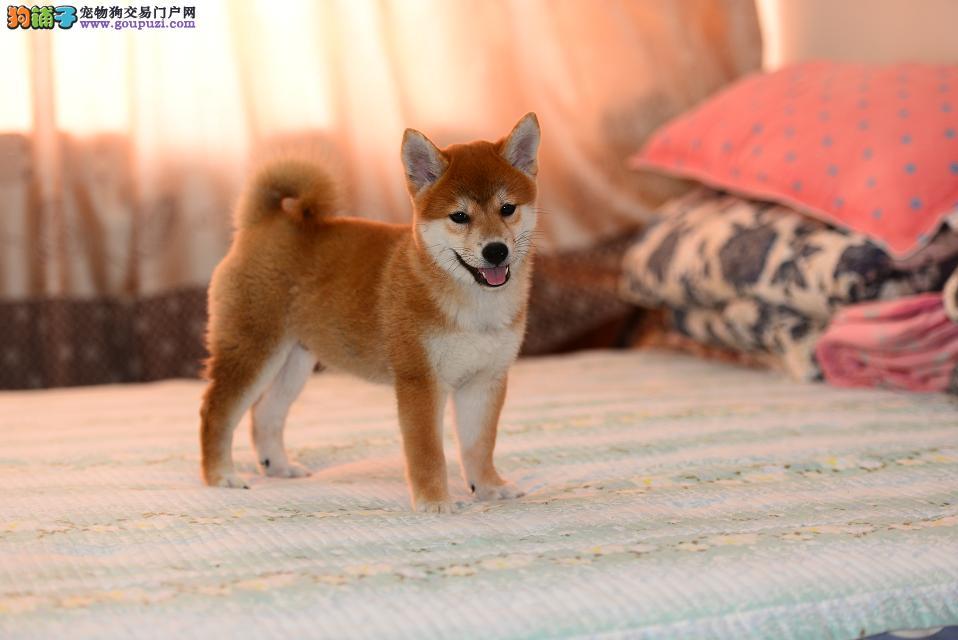 出售纯种健康柴犬幼犬 售后质保