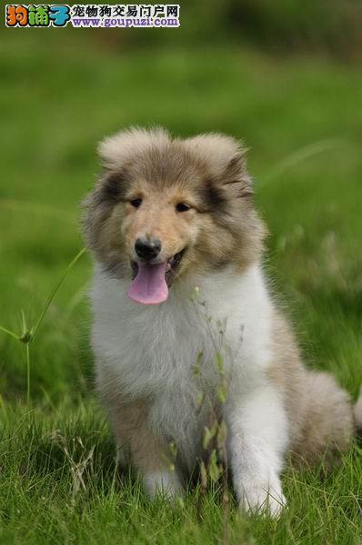 出售纯种苏格兰牧羊犬幼崽 质量健康保障