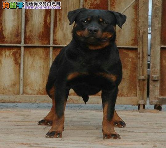 家养纯种 罗威纳犬 拉布拉多犬 特价出售