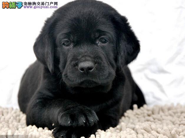 神犬小七 拉布拉多、奶白色、咖啡色、黑色专业繁殖