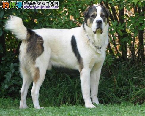 出售喜乐蒂 苏木 中亚牧羊犬 质量三包 不要在犹豫了