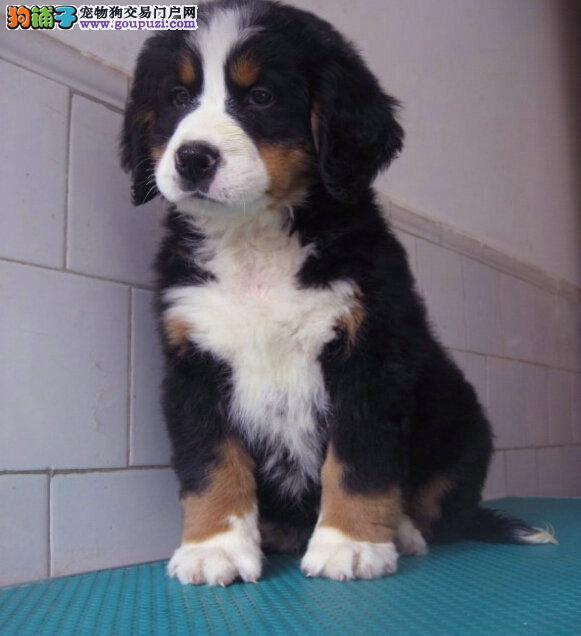 三个月大精品伯恩山幼犬出售 疫苗驱虫已做 包养活