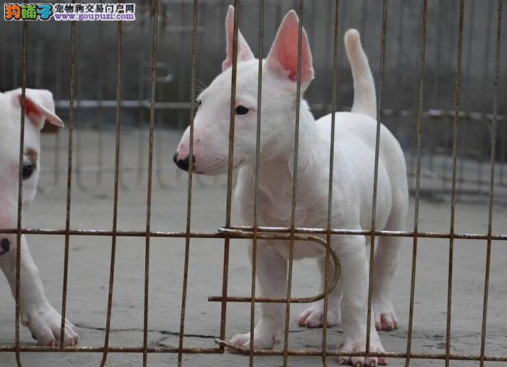 犬舍直销三个月大的牛头梗幼犬 包纯种包健康
