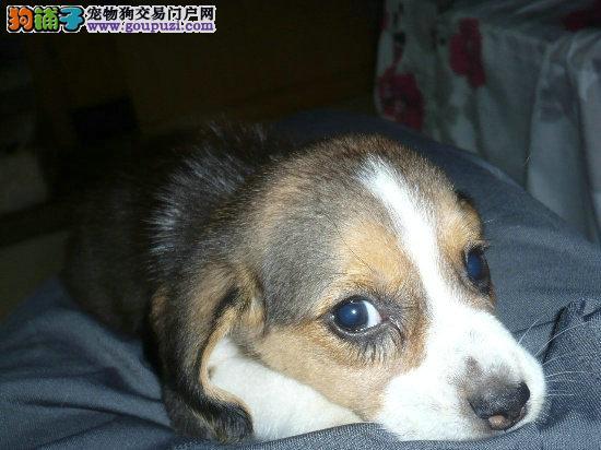 出生3个月零13天的比格犬出售