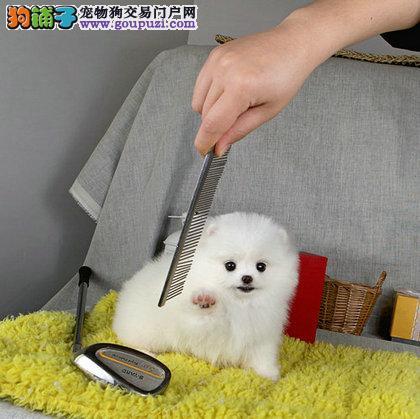 最顶级球体博美宝宝三个月待售中 签订购犬协议
