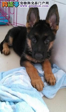 正规犬舍出售三个月大的高品质大骨架狼狗 包养活