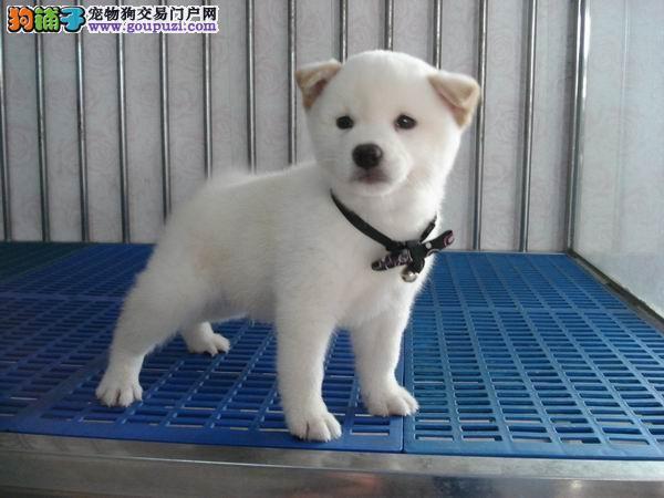 精品日系柴犬一证书齐全一血统纯正一送用品签协议