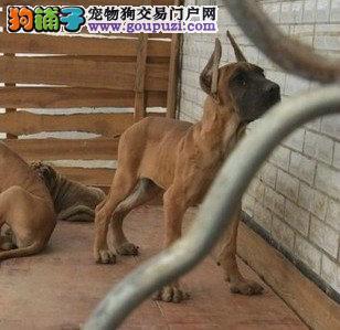 出售多只优秀的大丹犬可上门包售后包退换