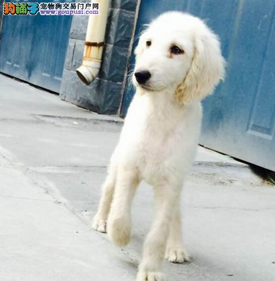 正规犬舍出售三个月大的高品质赛级阿富汗猎犬幼犬