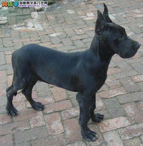 出售武汉大丹犬专业缔造完美品质全国送货上门