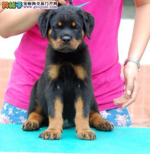特级防爆犬家养的罗威那幼犬包品质和健康