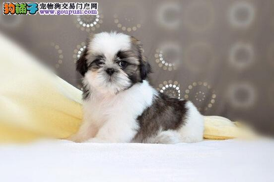 可爱 活泼 很健康纯种的三花西施犬宝宝,疫苗蛆虫齐全