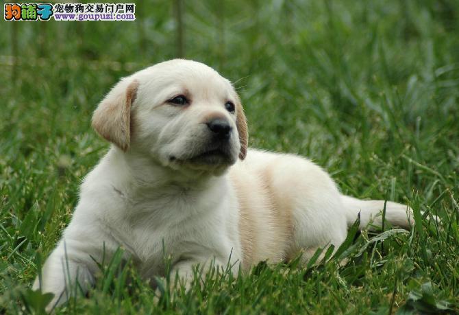 黄金血统拉不拉多 3个月幼犬大版非常漂亮超可爱