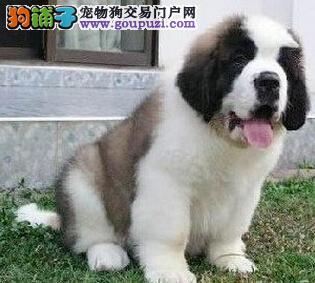 犬舍直销一精品圣伯纳一签协议一包养活一三个月可退换