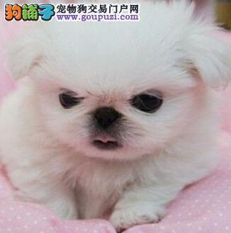 纯种京巴犬,公母多只可选,包纯种健康