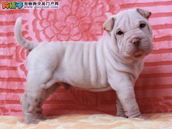 出售三个月大的纯种沙皮幼犬,签合同包健康包养活