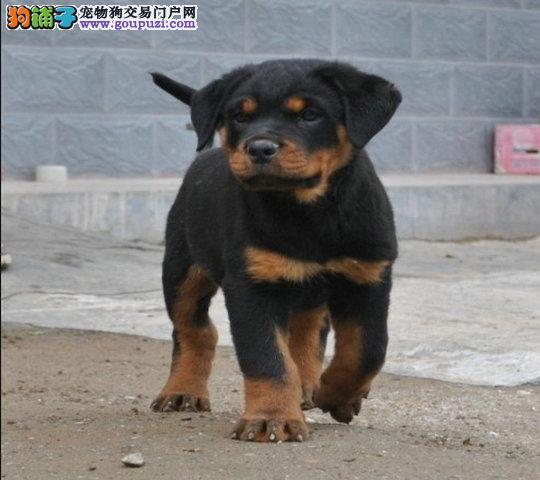 哪里有卖罗威纳幼犬罗威纳犬 健康纯种的罗威纳狗狗
