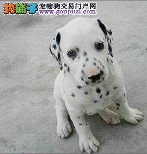 顶级斑点狗,三个月健康保证包纯种