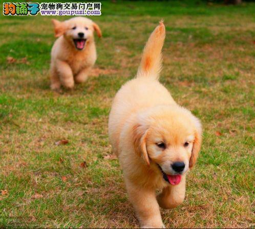 哪里有卖金毛幼犬的 健康纯种的金毛狗狗